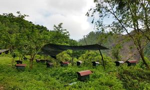 Chàng trai Phú Thọ bỏ bằng cử nhân lên rừng nuôi ong