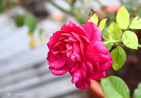 Mất khoảng 9-10 tháng để nhân giống thương mại hoa hồng cổ thành công. Ảnh: Gia Hoàng.